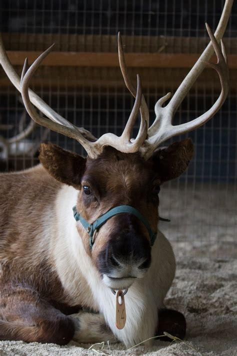 Can Reindeer Actually Fly? Find Out From our Wild