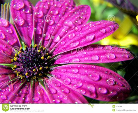 Water On A Flower Stock Images - Image: 5276084