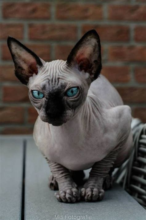 Sphynx Cats And Their Fascinating Intriguing Beauty