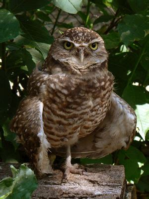 Burrowing Owl - Speotyto cunicularia | The Aviary at Owls