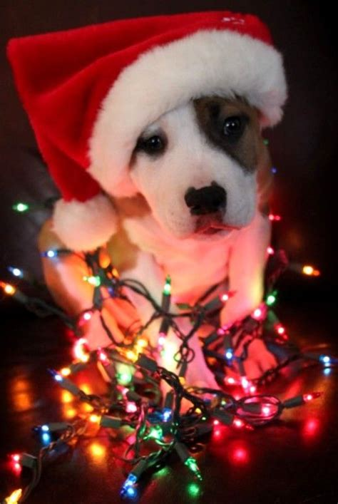 20+ Well-dressed Dogs Ready For Christmas   FallinPets