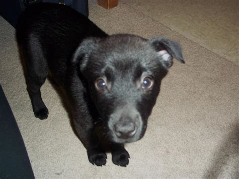 Possible Chihuahua mix? - Page 2 - German Shepherd Dog Forums